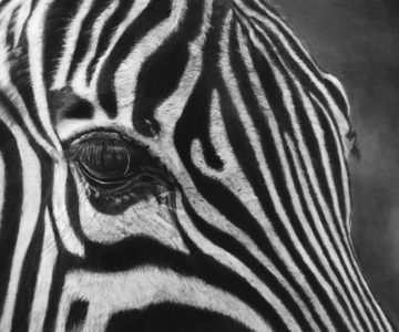 Zebra by Mim - Charcoal for Beginners